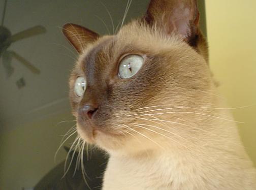 猫咪作梦发抖 天性影响睡眠